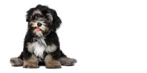Fausthouse Happy Havanese - Dog and Puppy Pictures