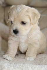 Hickory Knoll Havanese - Dog Breeders