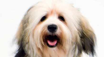 Akc Havanese Puppies For Sale In Rhode Island - Dog Breeders