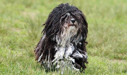 Hill-Crest Havanese Of New York – Pups Available Now - Dog Breeders