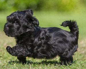 Tiny Tootsies Havanese - Dog Breeders