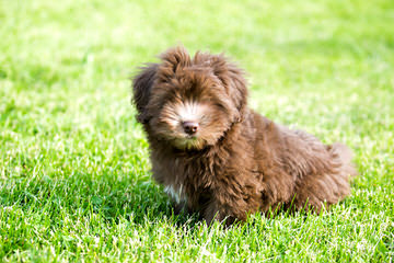 Little Wonders Havanese North - Dog Breeders