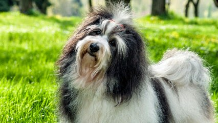 Dar A Luz Havanese - Dog and Puppy Pictures