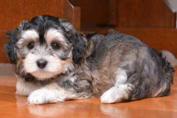 Fancy That Havanese - Dog Breeders