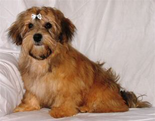 Sedosos - Dog Breeders