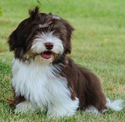 Kim`S Loving Havanese - Dog Breeders