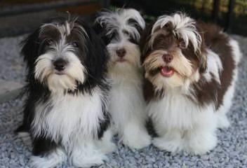 Royal Flush Havanese Florida - Dog Breeders