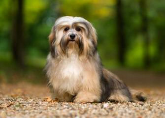 Mylad Havanese – Breeder Of Show Quality Havanese - Dog Breeders