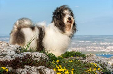 Little Wonders Havanese South - Dog Breeders