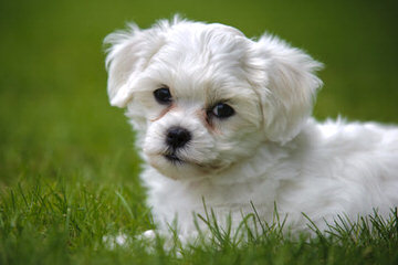 Fancy That Havanese - Dog and Puppy Pictures