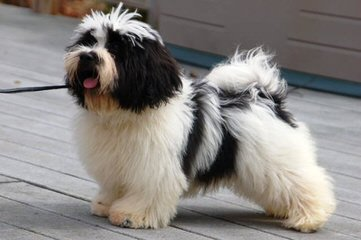 Glorybee Havanese - Dog Breeders