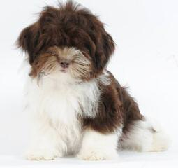 Gilood Havanese, Located In N Florida, Puppies Available - Dog Breeders