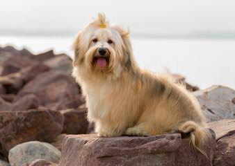 Fancy That Havanese - Dog Breeders