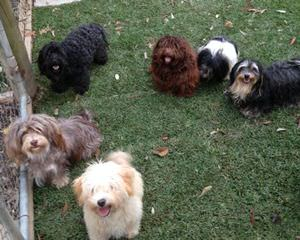 Ennagaldi Havanese - Dog Breeders
