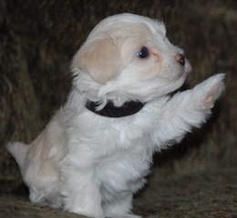 Jeff's Havanese - Dog Breeders