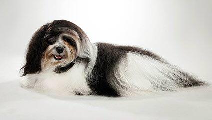 ELITE Havanese - Dog Breeders