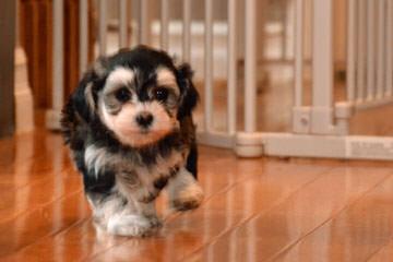 Joyaseda Reg'd Havanese - Dog Breeders