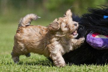 Sonrisas Havanese - Dog Breeders