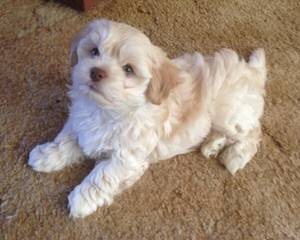 Champion Bloodline Havanese Puppies - Dog and Puppy Pictures