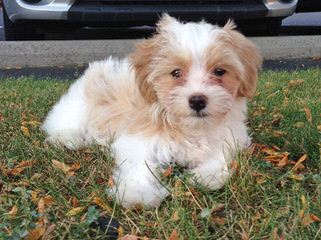 Kim`S Loving Havanese - Dog and Puppy Pictures