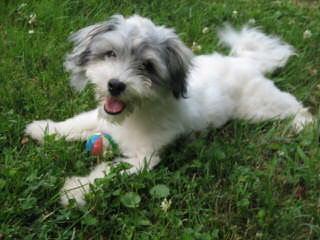 Mistytrails Havanese '1993' (Registered / Certified) Breeder - Dog Breeders