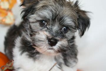 Royal Flush Havanese Florida - Dog and Puppy Pictures