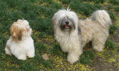 Nevena's Truelove Havanese - Dog Breeders