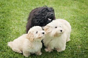 SALIDA DEL SOL HAVANESE - Dog Breeders