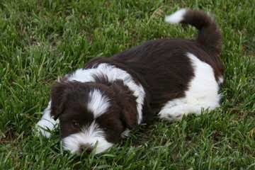 B F Havanese - Dog Breeders