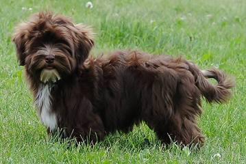 Little Wonders Havanese North - Dog Breeders