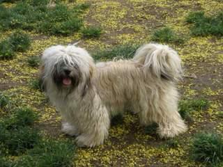 Hydabrek Havanese - Dog Breeders