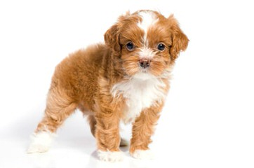 Havanese Puppies For Sale / Havanese Dog Breeders