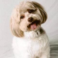 Nevena's Truelove Havanese - Dog Breeders