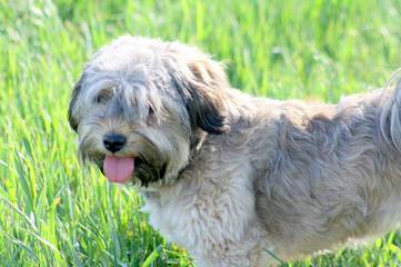 Moorea Havanese - Dog and Puppy Pictures