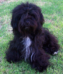 Coco Cabana Havanese-Pups Now - Dog Breeders
