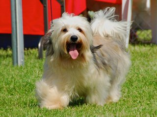 Hill-Crest Havanese Of New York – Pups Available Now - Dog and Puppy Pictures