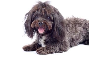 Akc Havanese Puppies For Sale In Rhode Island - Dog Breeders