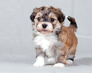 Kase Havanese – Champion Pups Available - Dog Breeders