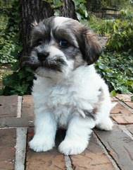 2 Cute Havanese - Dog Breeders