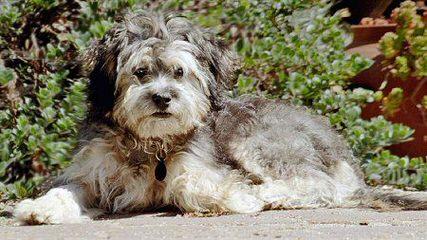 Miss Muffin's Havanese - Dog Breeders