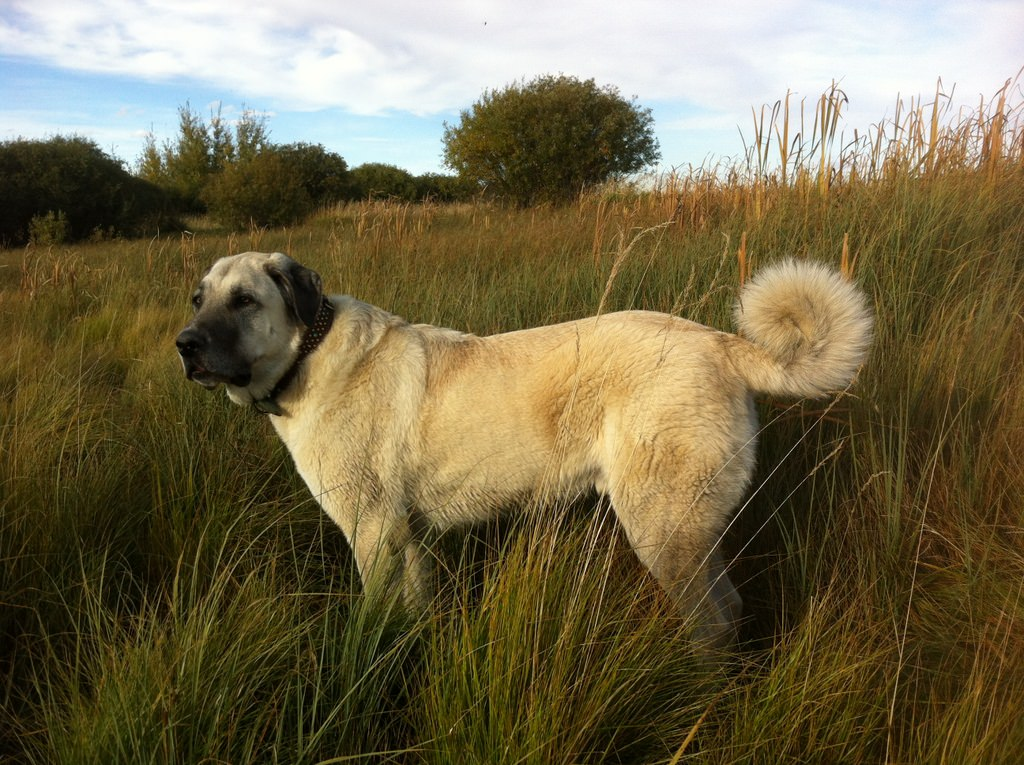 Kangal Dog Dogs and Puppies
