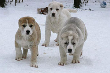 California Kangals - Dog Breeders