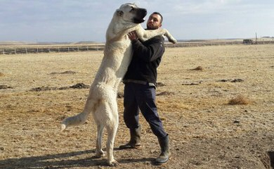 Turkmen Kangal Dogs - Dog Breeders