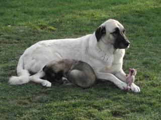 Turkmen Kangal Dogs - Dog Breeders