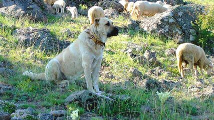 Cinco Deseos Ranch Livestock Guardian Dogs - Dog Breeders