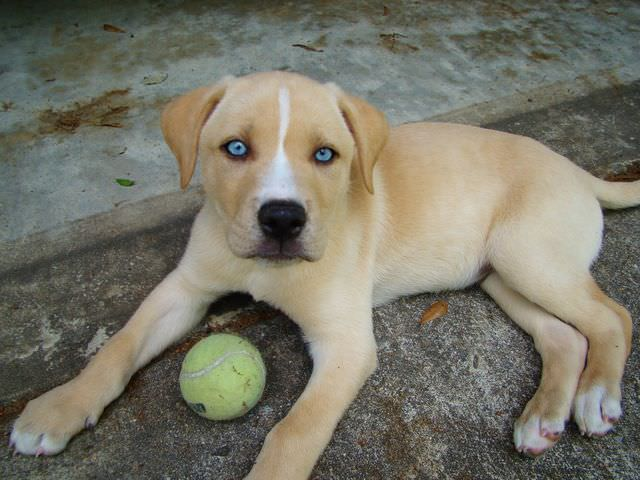 Labbe Dogs and Puppies