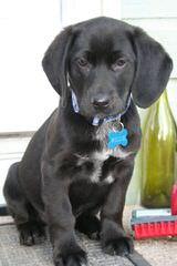 Labbe Puppies! - Dog Breeders