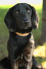 Labbes / Miniture Labs - Dog Breeders