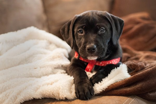 Labrabull Dogs and Puppies