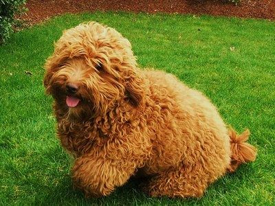 Labradoodle Dogs and Puppies